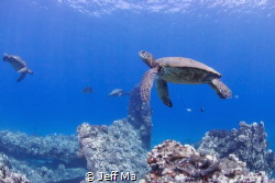 Turtle Cleaning Station.  Mala Pier, Maui, HI by Jeff Ma